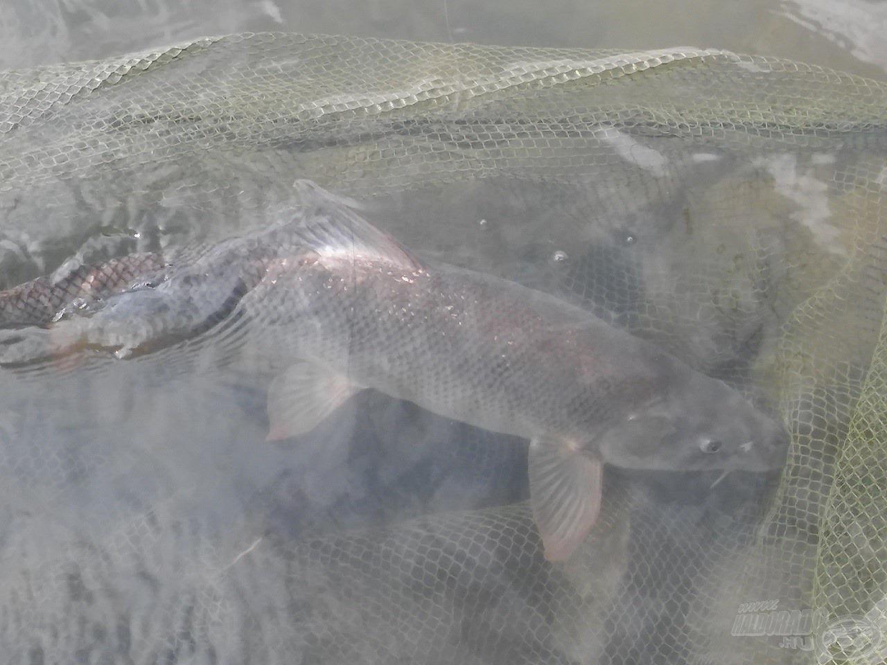 … mely a finom szerelék ellenére viszonylag hamar felőrölte a hal erejét