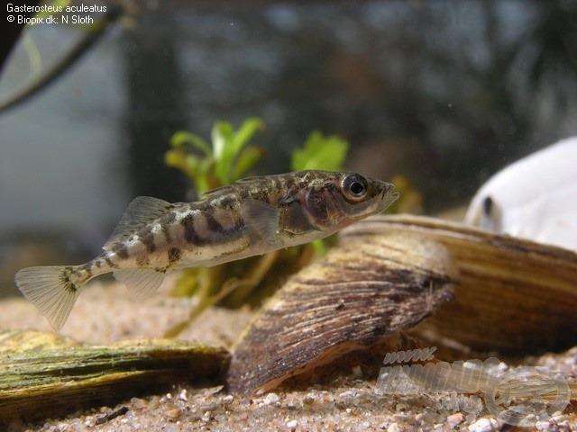 Akváriumi példány