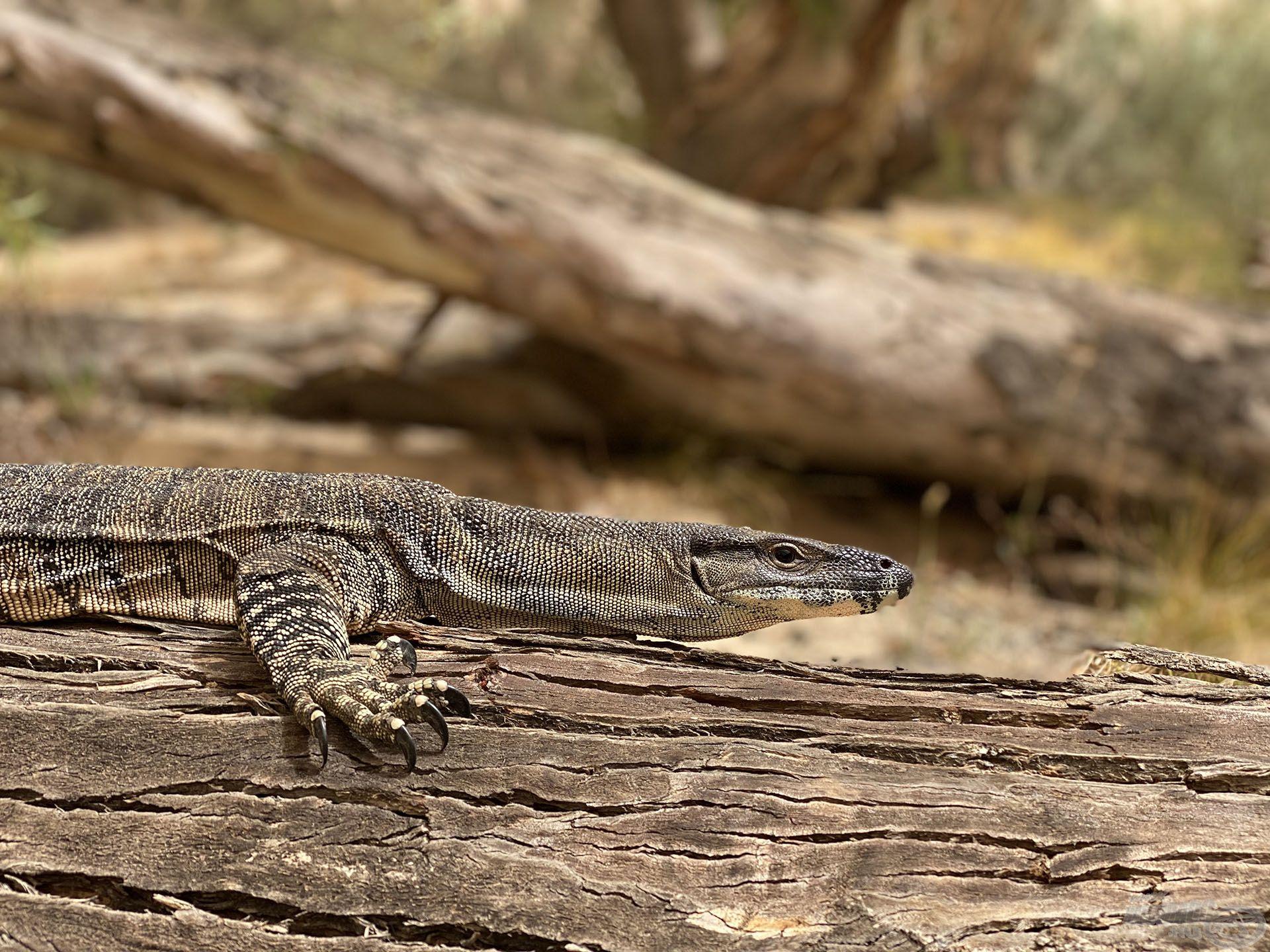 Valaki mindig figyel… Ausztráliában sok mérges kígyó, pók, krokodil és jó néhány egyéb más állat veszélyezteti akár az ember életét is. Ez nem vicc!!!