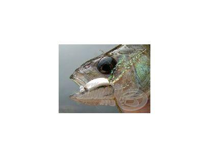 A sügér horgászata 11.