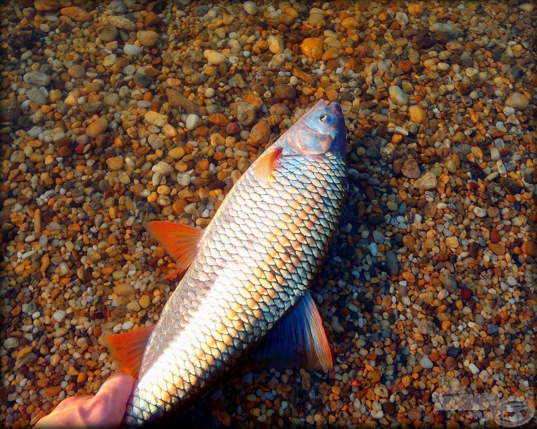A leánykoncér védett hal, bánjunk vele óvatosan!