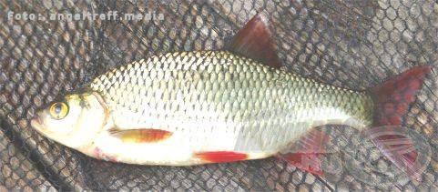 A szebb példányok megdobogtatják a horgász szíveket