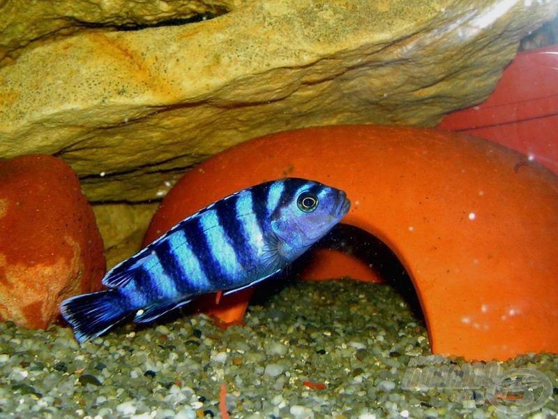 <i>Pseudotropheus demasoni</i> - Malawi neonsügér