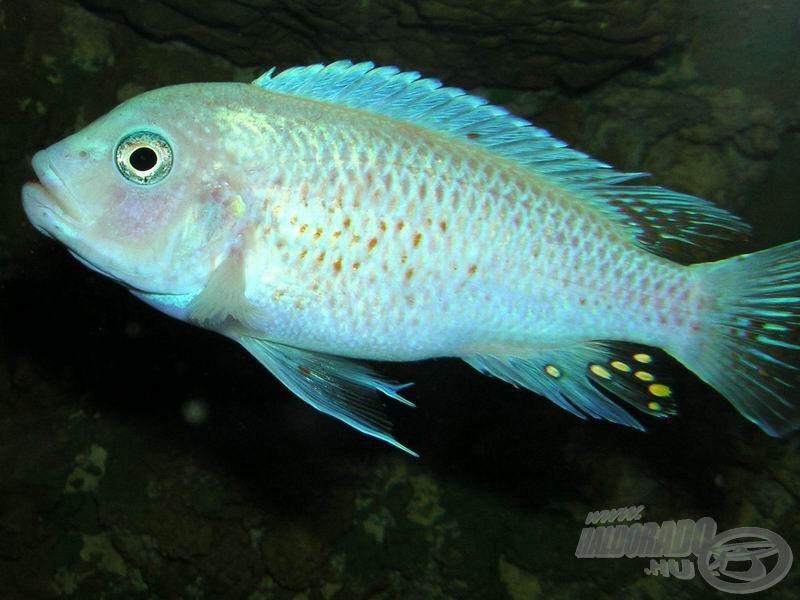 <i>Maylandia estherae (= Pseudotropheus estherae)</i> 'Rot-rot' szépen kivilágosodott hím…