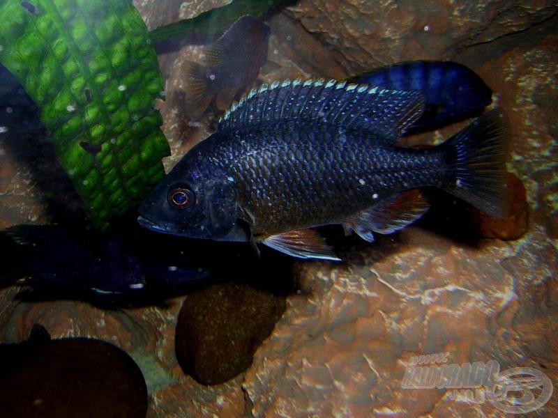 Vértestű sügér - <i>Copadichromis borleyi</i> 'Kadango Red Fin' fiatal hím
