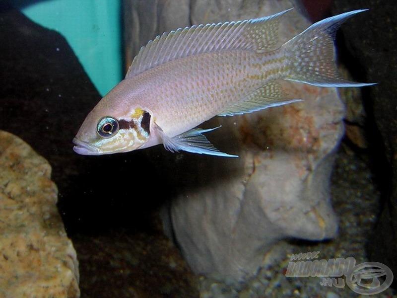Porcelánsügér - <i>Neolamprologus brichardi</i>