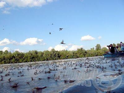 Milliónyi kérész a Tisza vize felett