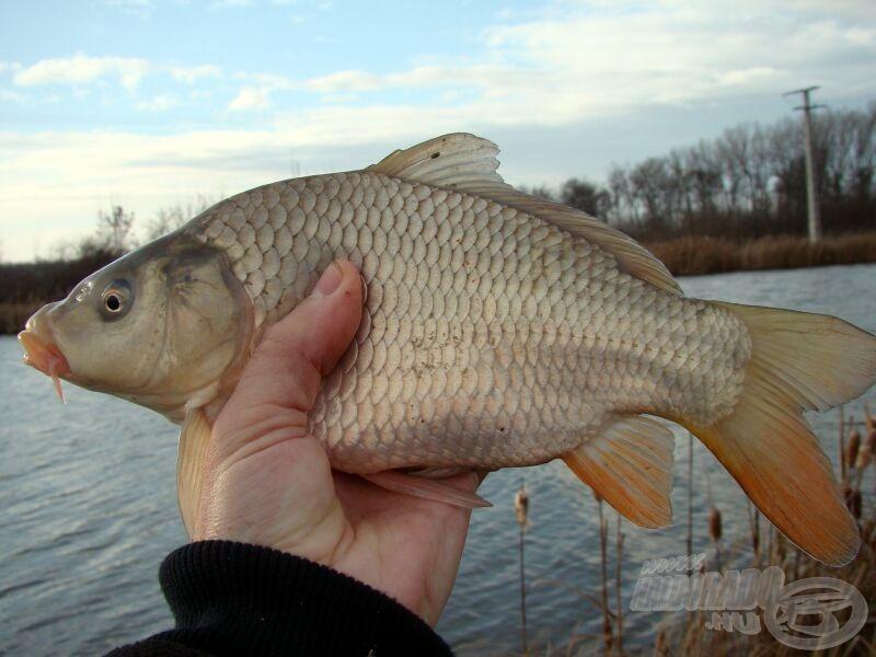 Közben a giliszta-kukorica szendvicsre is nagyobb hal érkezik