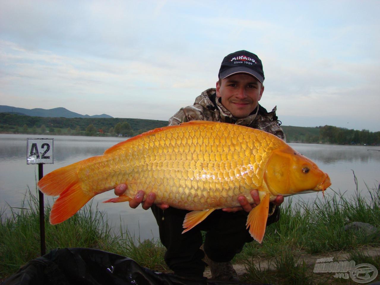 Narancs-koi a Mossfish csapatától