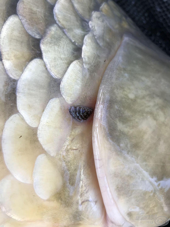 Letelepedett kagyló