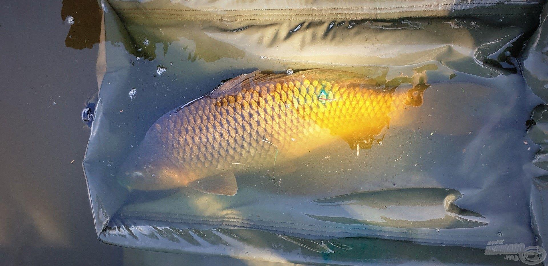 A kíméletes bánásmódot szem előtt tartva, a megjelölt és fertőtlenített halat a bölcsőből engedtem útjára