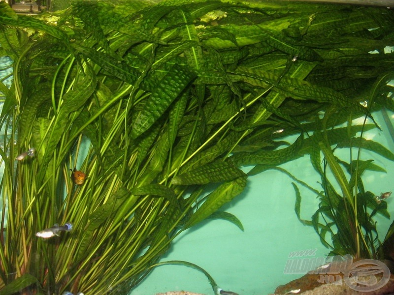 … vagy a méteres leveleket hajtó hólyagos vízikelyhek egyaránt pazar menedéket nyújtanak