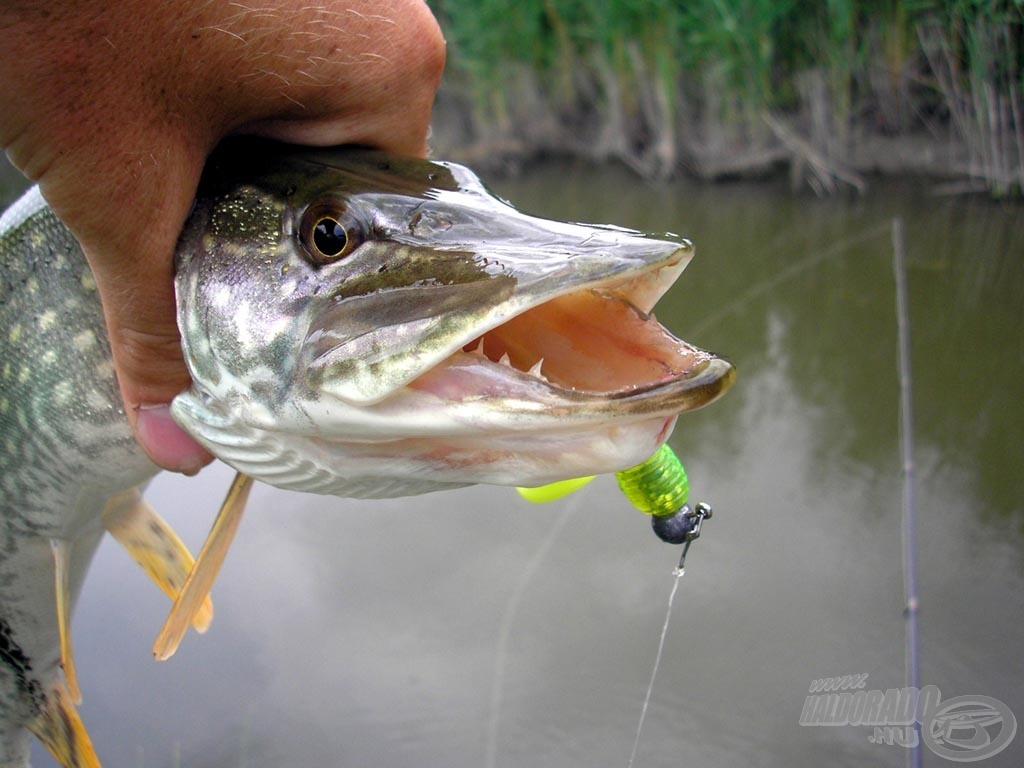 Sőt, még innen sem látszik a horog ütötte lyuk, pedig a csali még a hal szájában van
