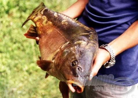 Ez az 5 kg körüli tükörponty a horgászat második napjának akadt horogra