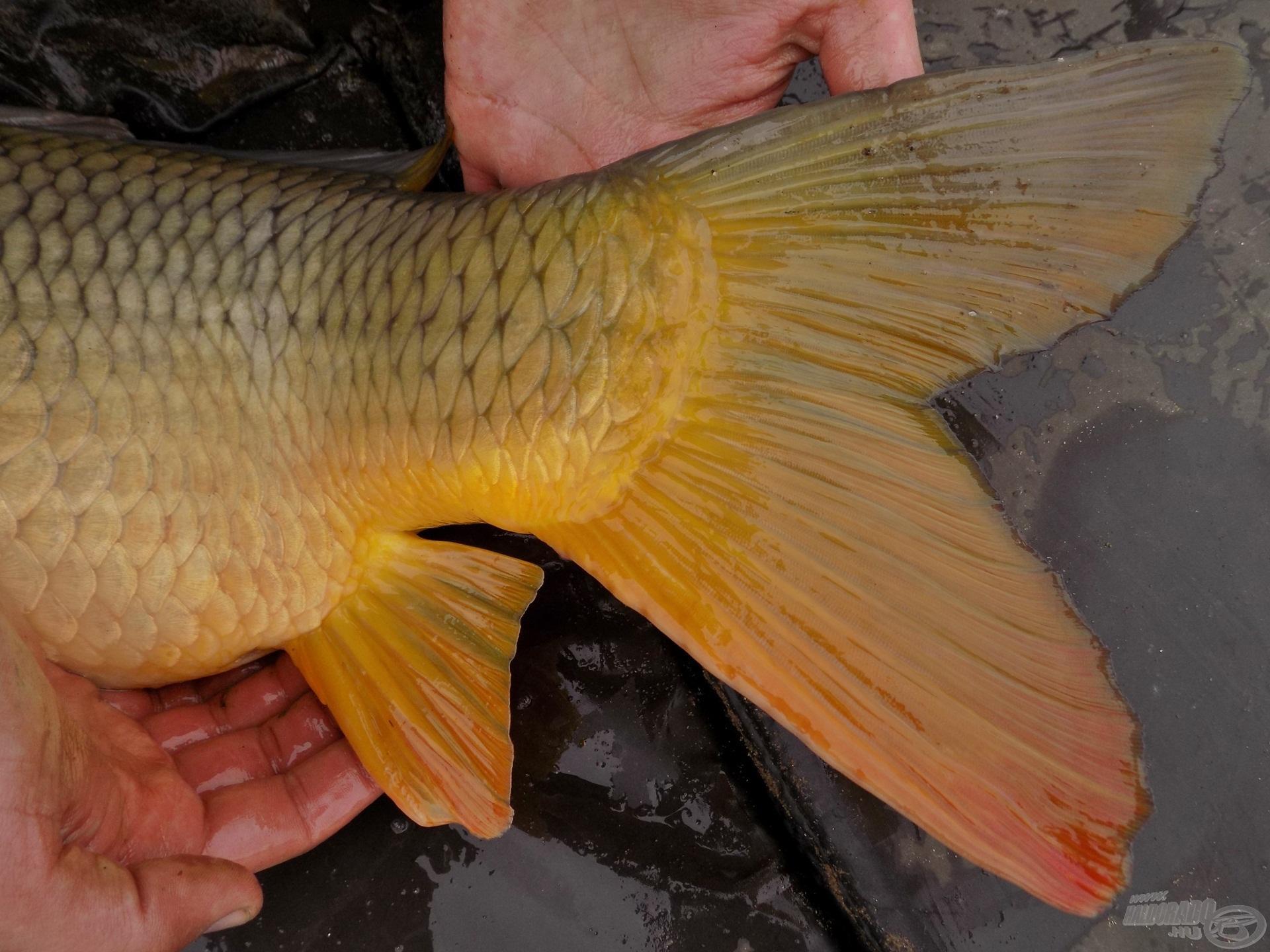 A halak majd kicsattannak az egészségtől, köszönik szépen, jól vannak… A tiszta víz, a rengeteg természetes táplálék mind-mind az ő javukat szolgálja