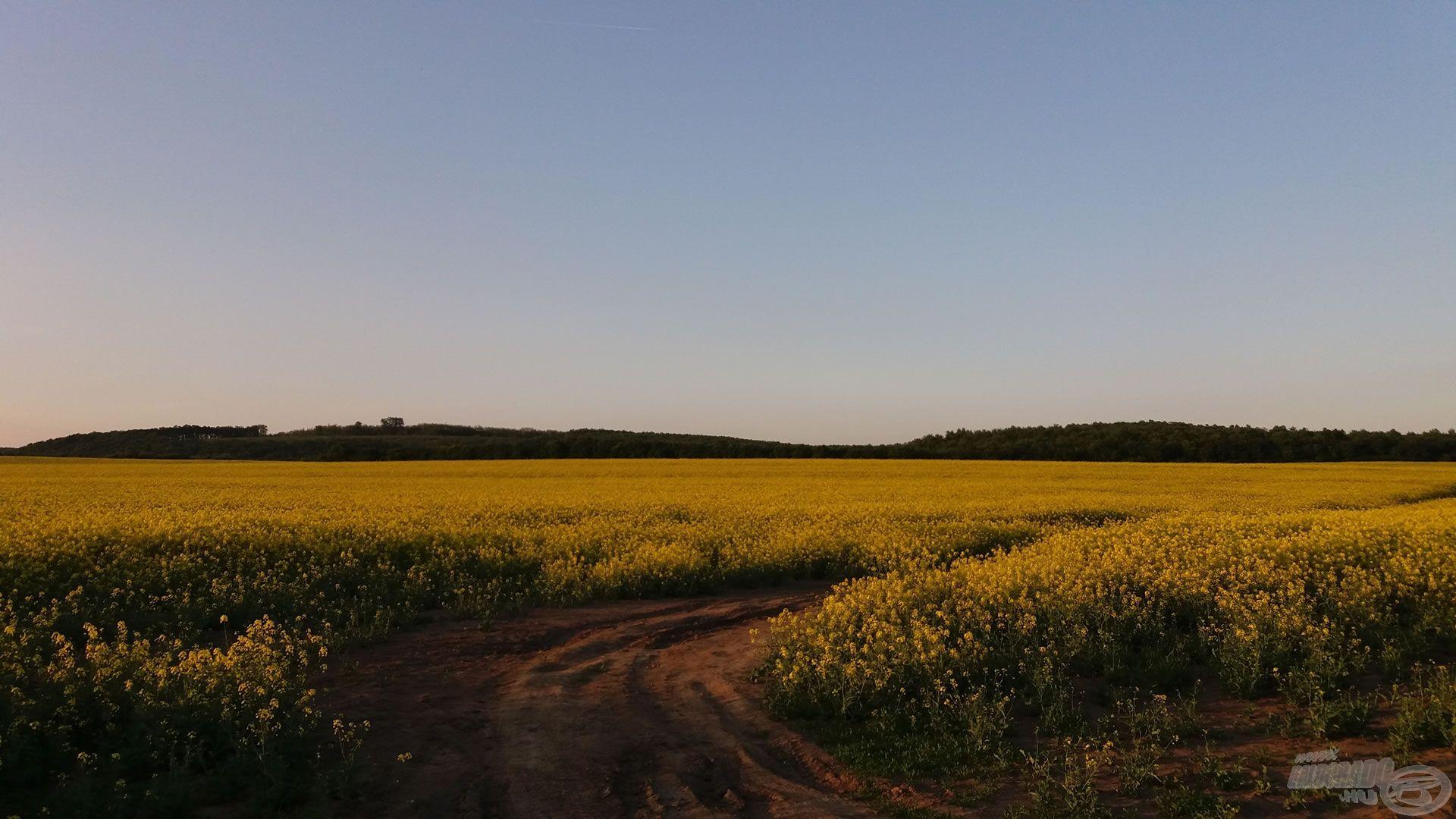 A hazavezető úton a lenyugvó nap fénye világította be a sárga repceföldeket