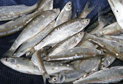 Dunai árvízi peca - I. Haldorádó Folyóvízi Horgásztalálkozó, beszámoló