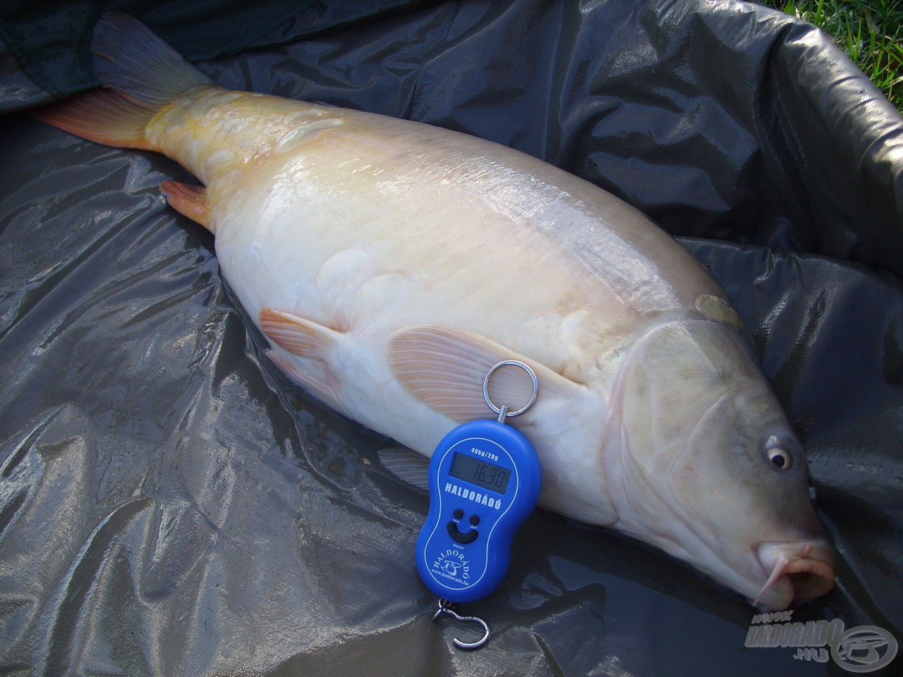 A termetes hal 16,30 kilogrammig terhelte mérlegemet