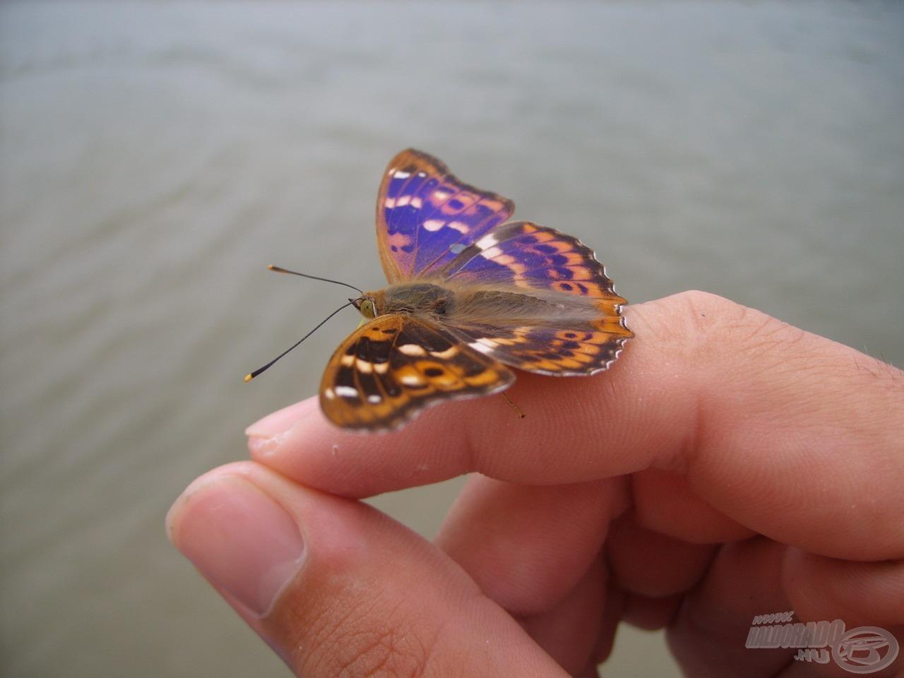 … és még azoknál is lenyűgözőbb színkavalkádot viselő pillangókat