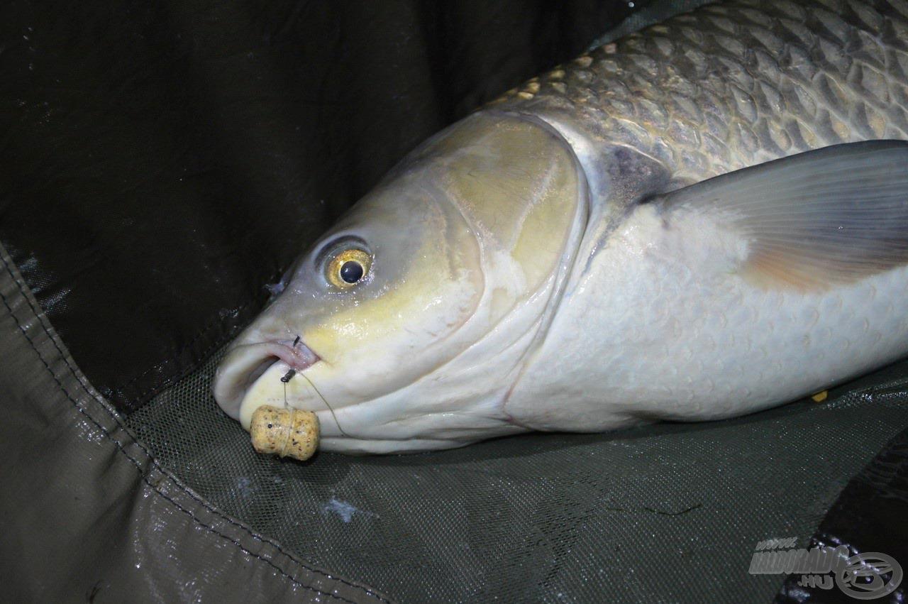 A FermentX Nagyhal Csali sokszor visszaköszönt a megfogott halak szájában