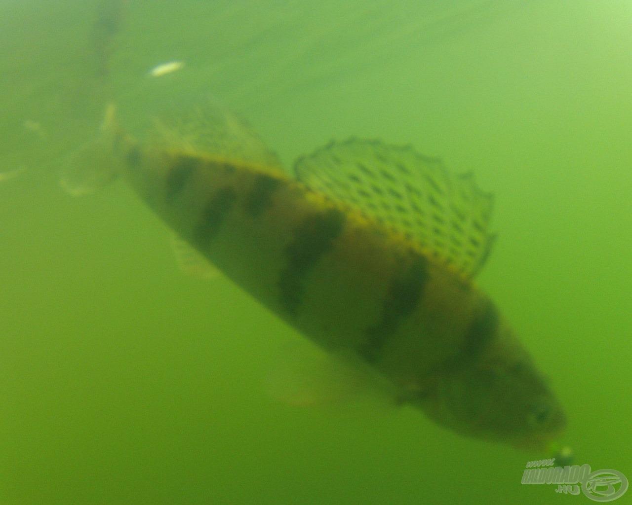 Újabb hal jön felfelé, ezúttal a Mann's Action Shadet hozza vissza