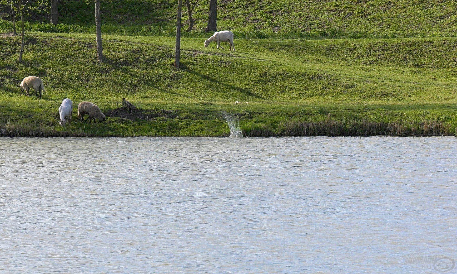 Minél közelebb, minél precízebben tud valaki a nádfalhoz horgászni, annál inkább és annál hamarabb számíthat kapásra!