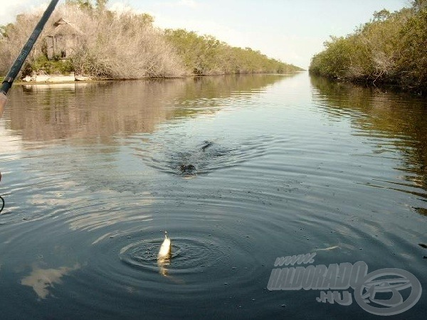 A megakasztott halat gyorsan kell kifárasztani, mert hamar érkeznek az aligátorok.