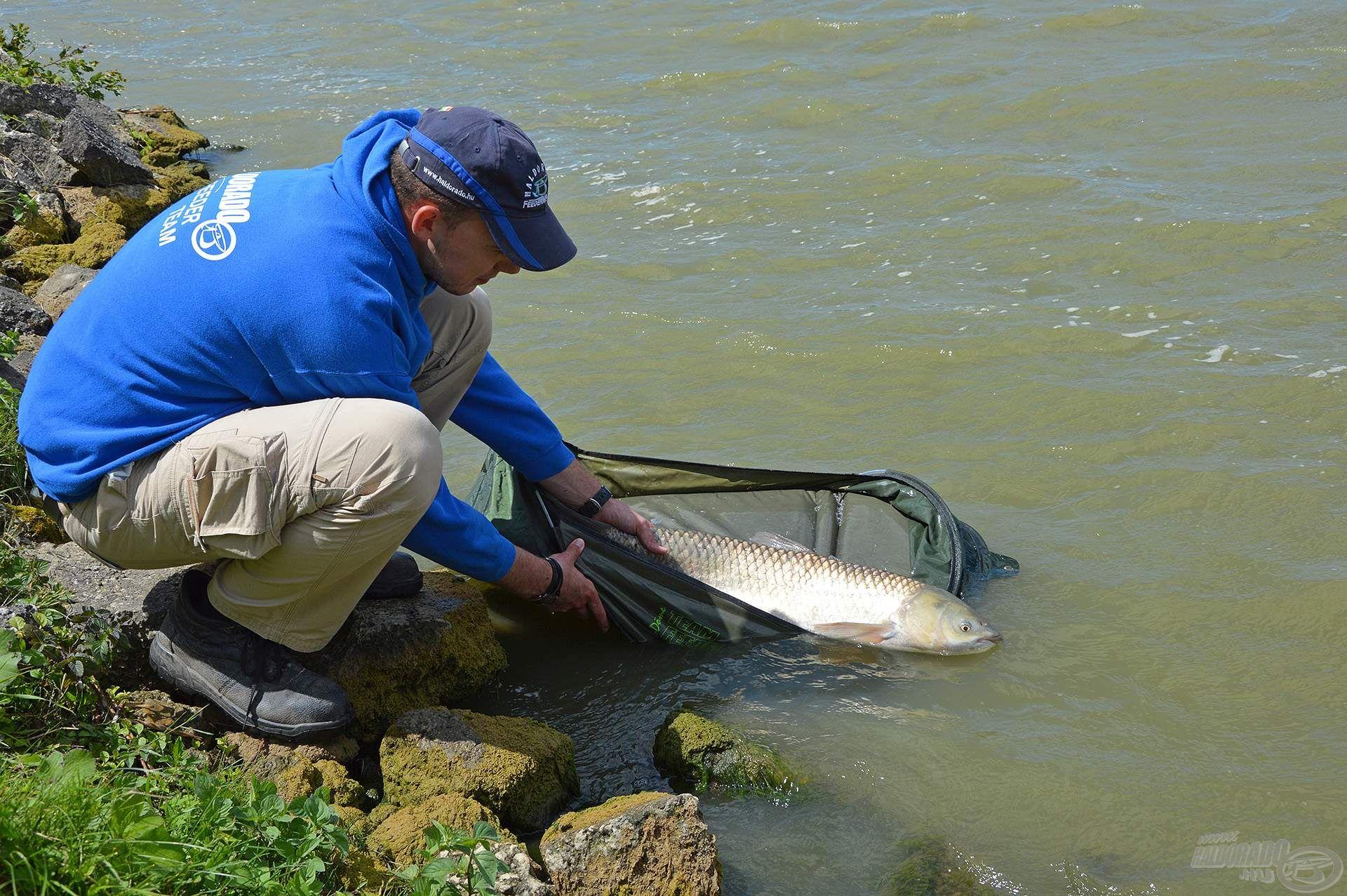 Mérettől függetlenül akkor válik igazán teljessé ezeknek a remek halaknak a horgászata, ha egészségüket megőrizve adhatjuk vissza a szabadságukat