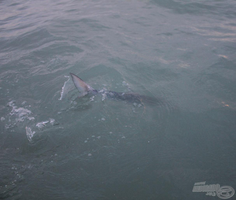 Ott a cápa!