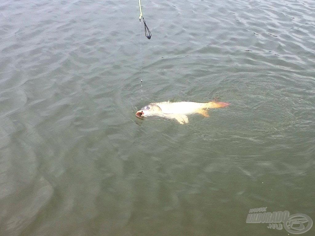 A nap folyamán minden egyes hal megdolgoztatott rendesen, de szerencsére minden halat sikerült megszákolni