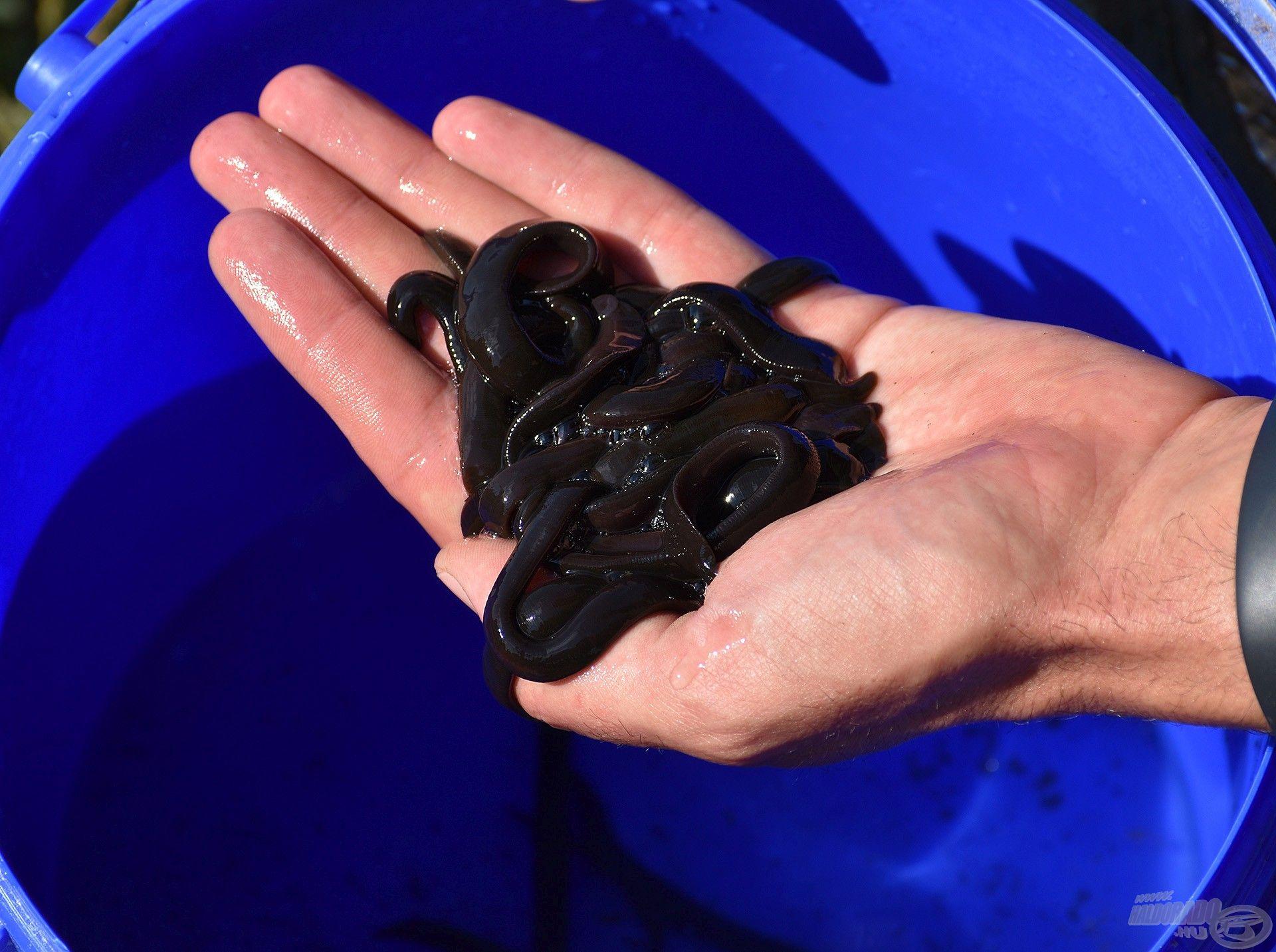 A nadály néven ismert gyűrűsféreg a legkedveltebb, legfogósabb harcsacsalik egyike