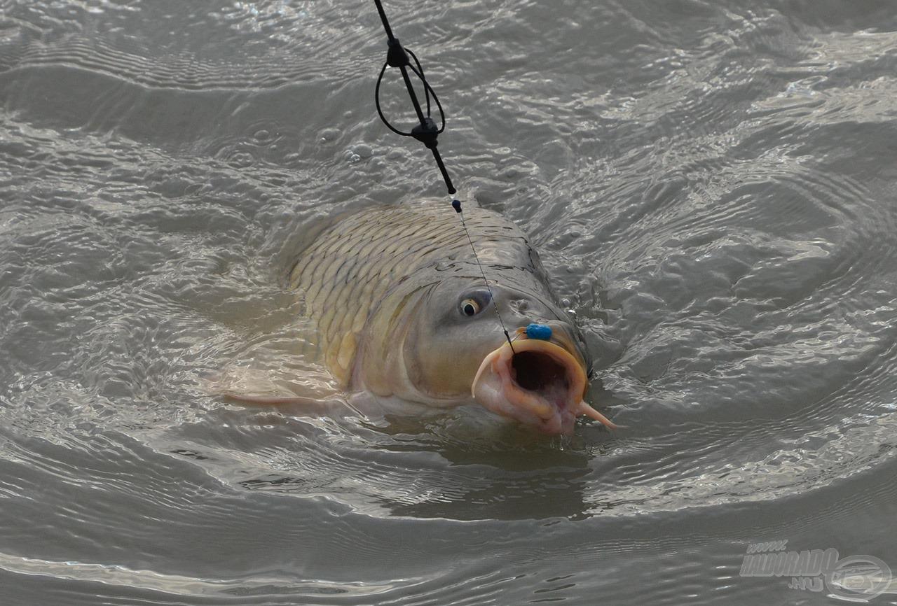 Látványos és megkérdőjelezhetetlen volt a Kék Fúzió pellet fogóssága. Összesen 9 halat fogtunk, ebből 8 ezt a csalit választotta!