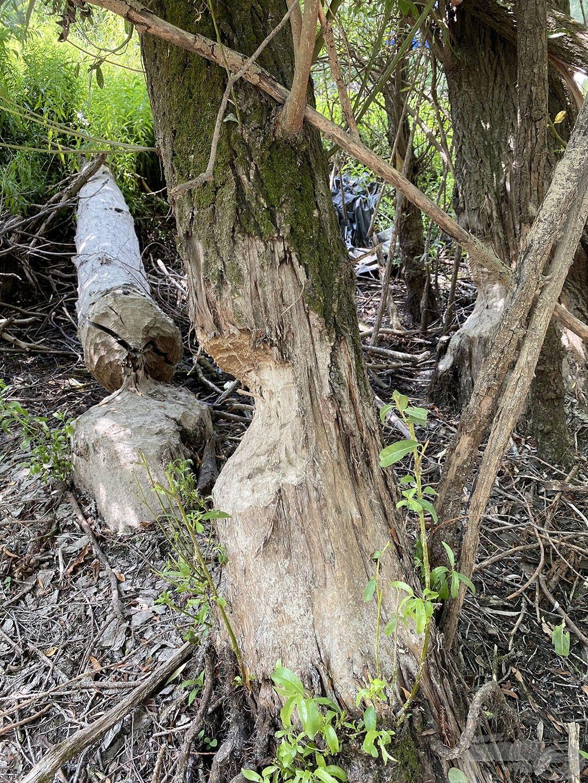 A hódok minden fát megrágnak