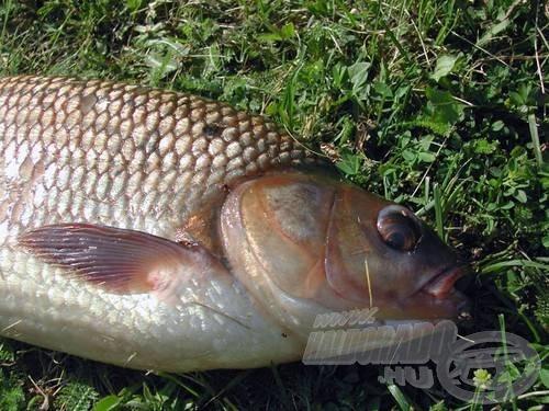 A 20 mm-es bojlit könnyedén felhörpintette a hal