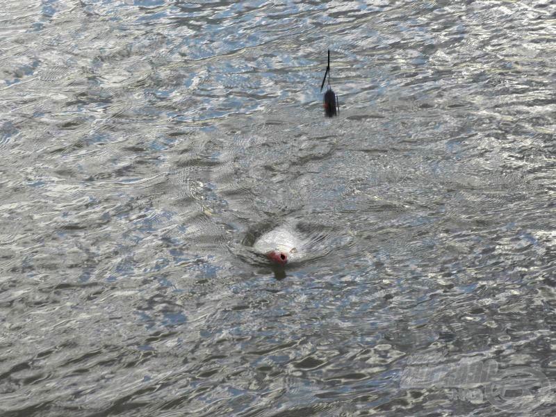 A második nap első hala ez a…