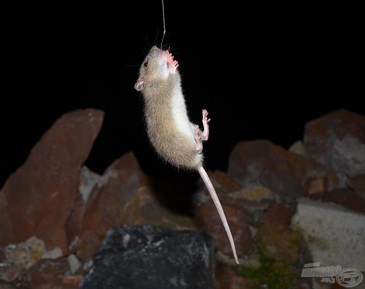 Akadt már ilyen a horgodra? Elég volt csak 10 másodpercre őrizetlenül hagyni a csalit, és lám, egy kis patkány akarta a kövek közé húzni a felcsalizott horgot. Nem volt egyszerű leakasztani…! De mivel méreten aluli volt, így visszanyerte szabadságát!