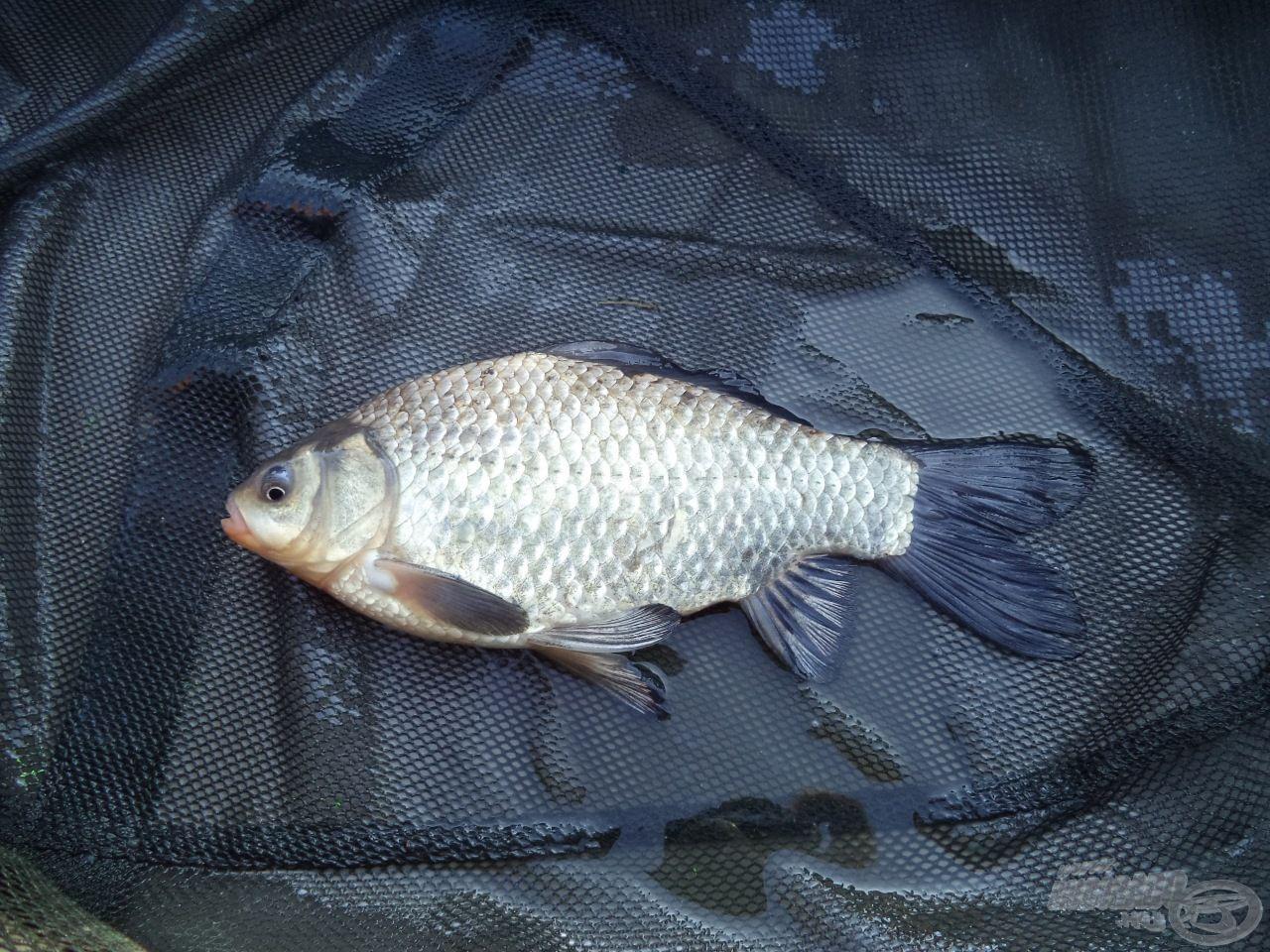 Az első nap utolsó és egyben legkisebb hala