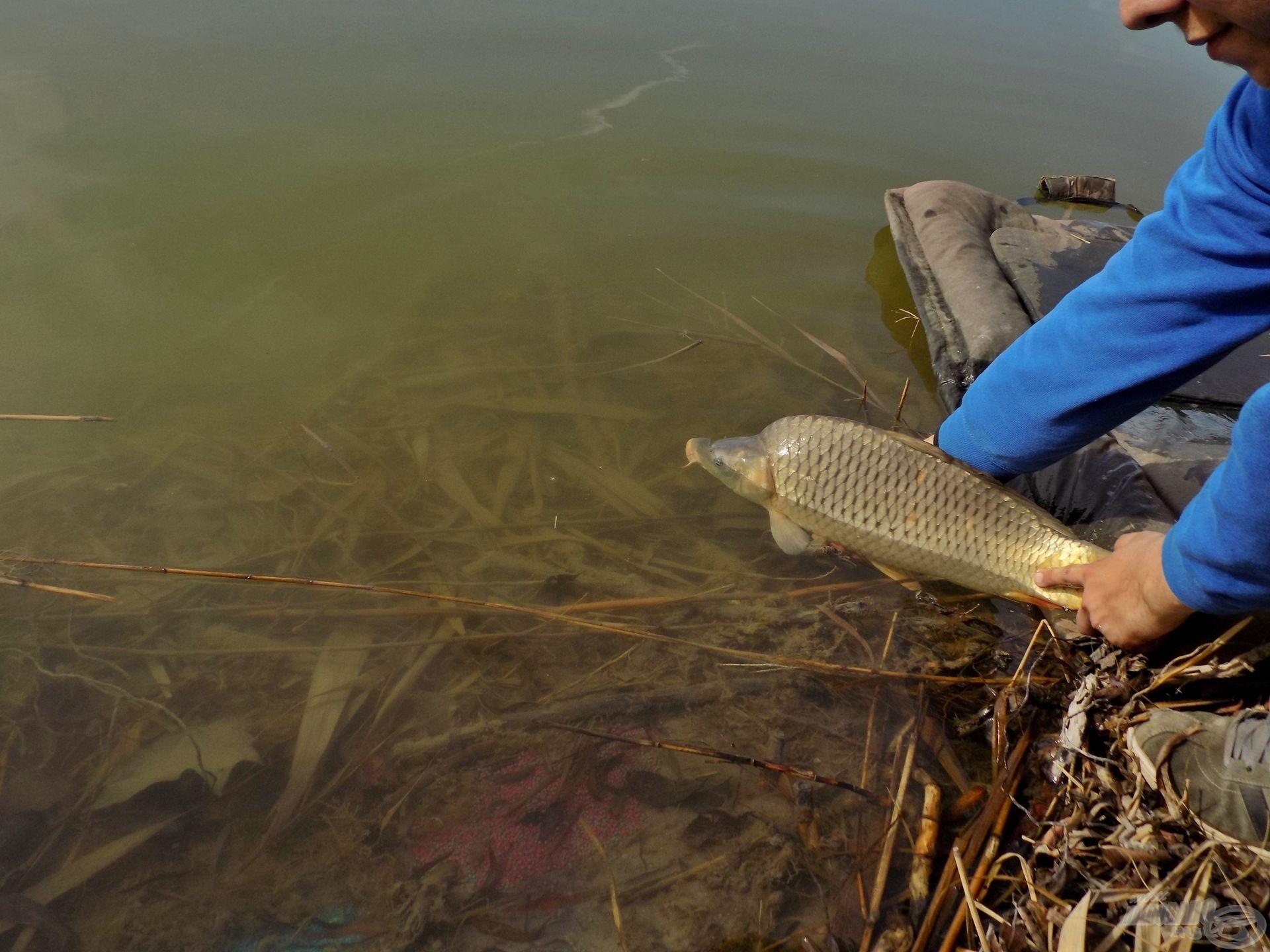 Ki tudja, talán 10 év múlva újra kézben tarthatjuk őket, nem kis örömet okozva számunkra! De ehhez alapkövetelmény a halak felé mutatott tisztelet, figyelem, védelem – mindenki részéről!