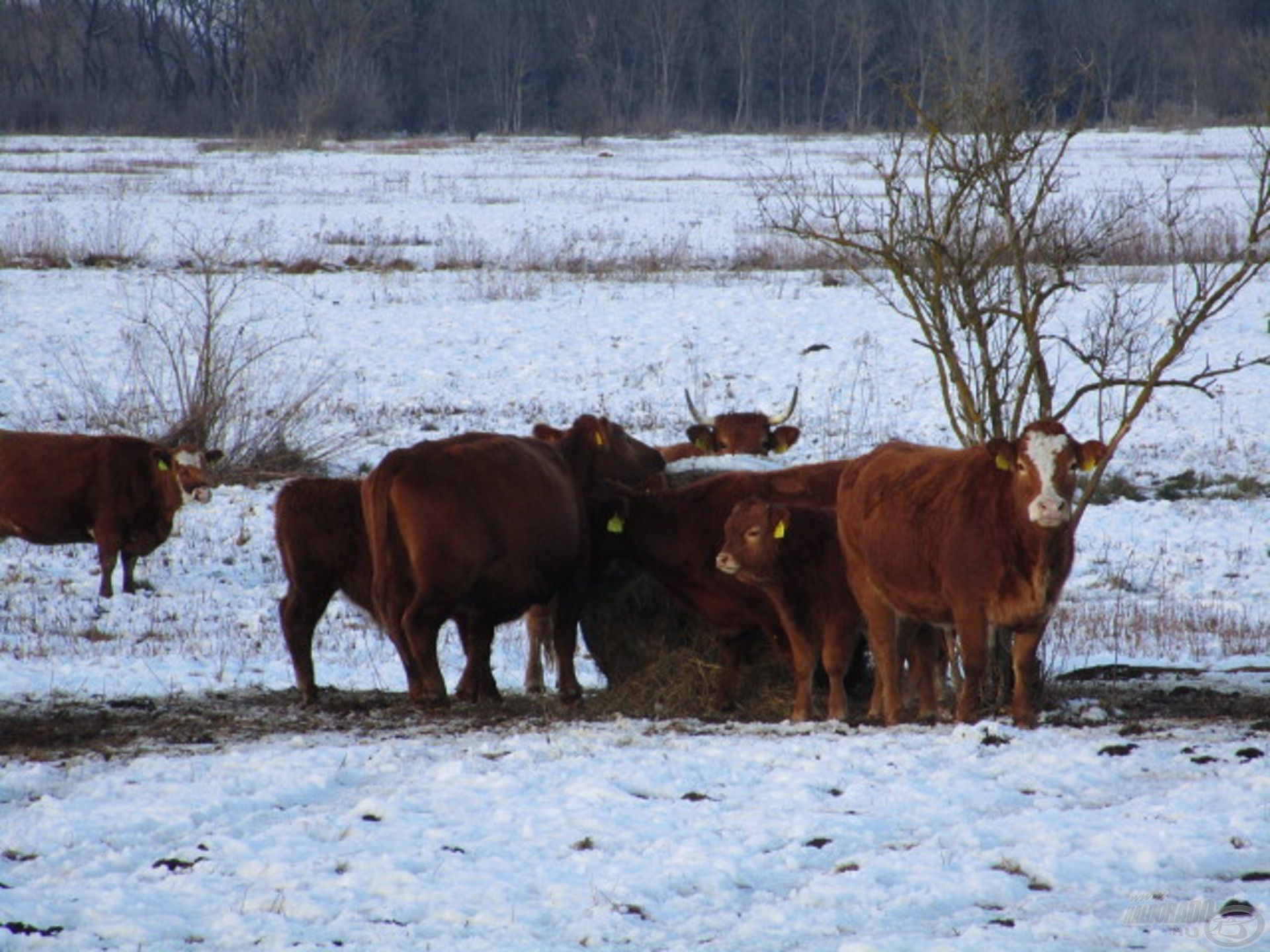 A Zala melletti réten legelésző tehenek is várják a tavaszt