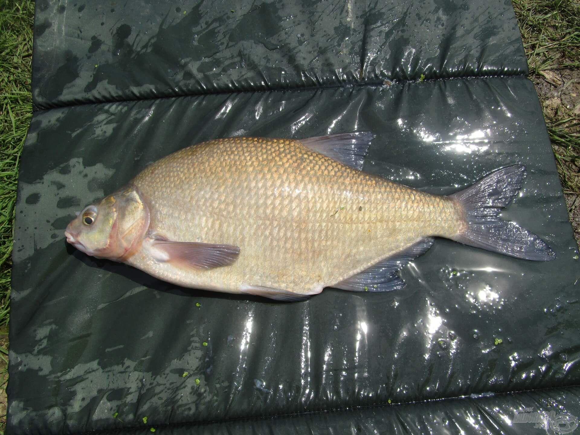 A dévérkeszeg az egyik kedvenc halam. Hihetetlenül boldog voltam, amikor összehozott a sors ezzel a gyönyörű példánnyal!
