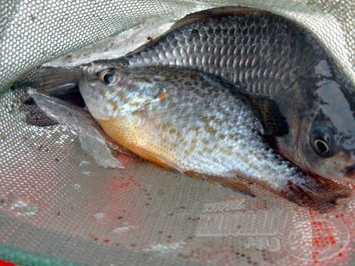Palotáson az egyik legeredményesebb süllőcsali a léki horgászatok során az ezüstkárász. Azért érdemes lenne egy próbát tenni, mondjuk naphallal
