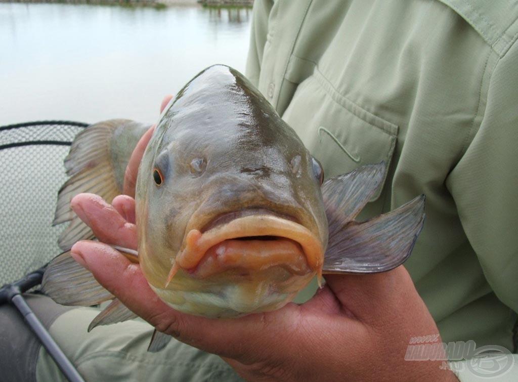 Készítsünk több felvételt a halról, így biztosan lesz közötte olyan, ami segíteni fog a beazonosításában