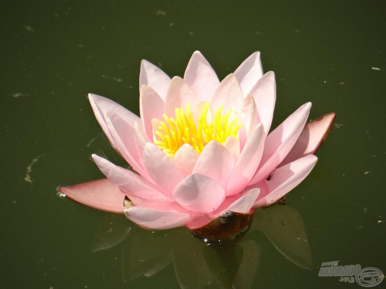 Egy aznapi rózsa, rózsaszínben
