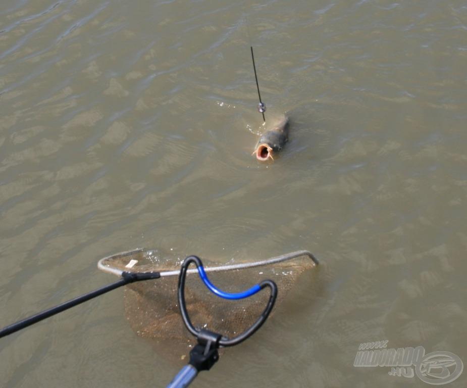 Megnyugtató pillanatok, a hal a szák felé tart
