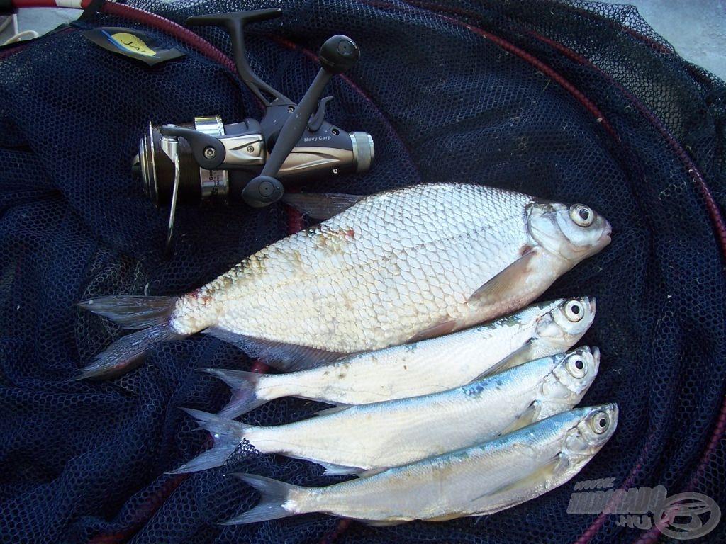 Ötödikre végre halat is sikerült fogni. Soha nem is láttam még ekkora bagolykeszeget, hossza 31 centi volt, súlyát 60 dekára saccolom. Gardából is csak egyet-egyet fogtam korábban, úgyhogy emlékezetes horgászat volt! A Duna ismét szép meglepetésekkel szolgált