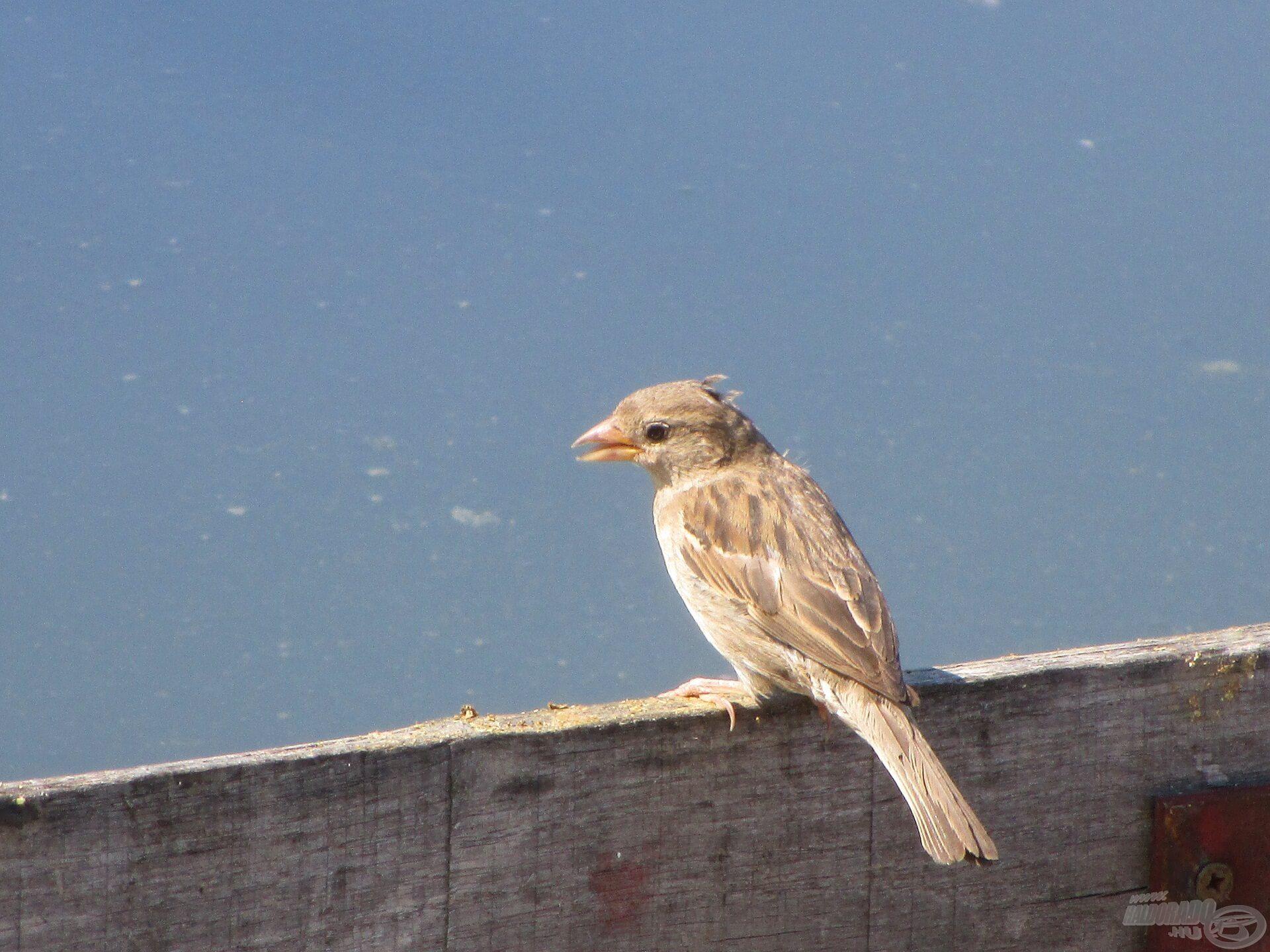 A madarak legalább ettek, a stégre potyogott etetőanyag szemcséket csipegették