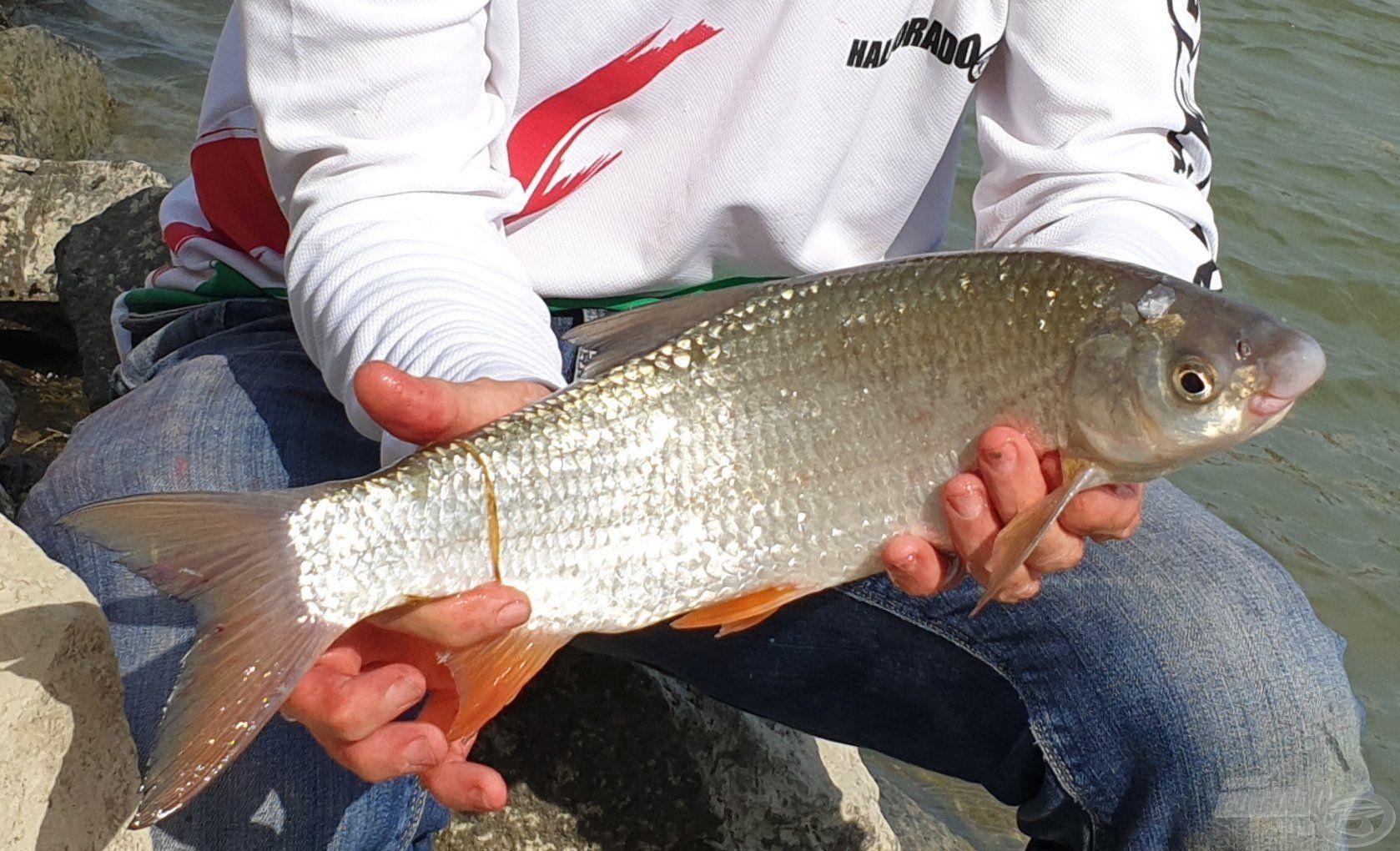 A paduc igazán kecses hal, jellegzetessége a nagy orrcsúcs, illetve a vésett ajak