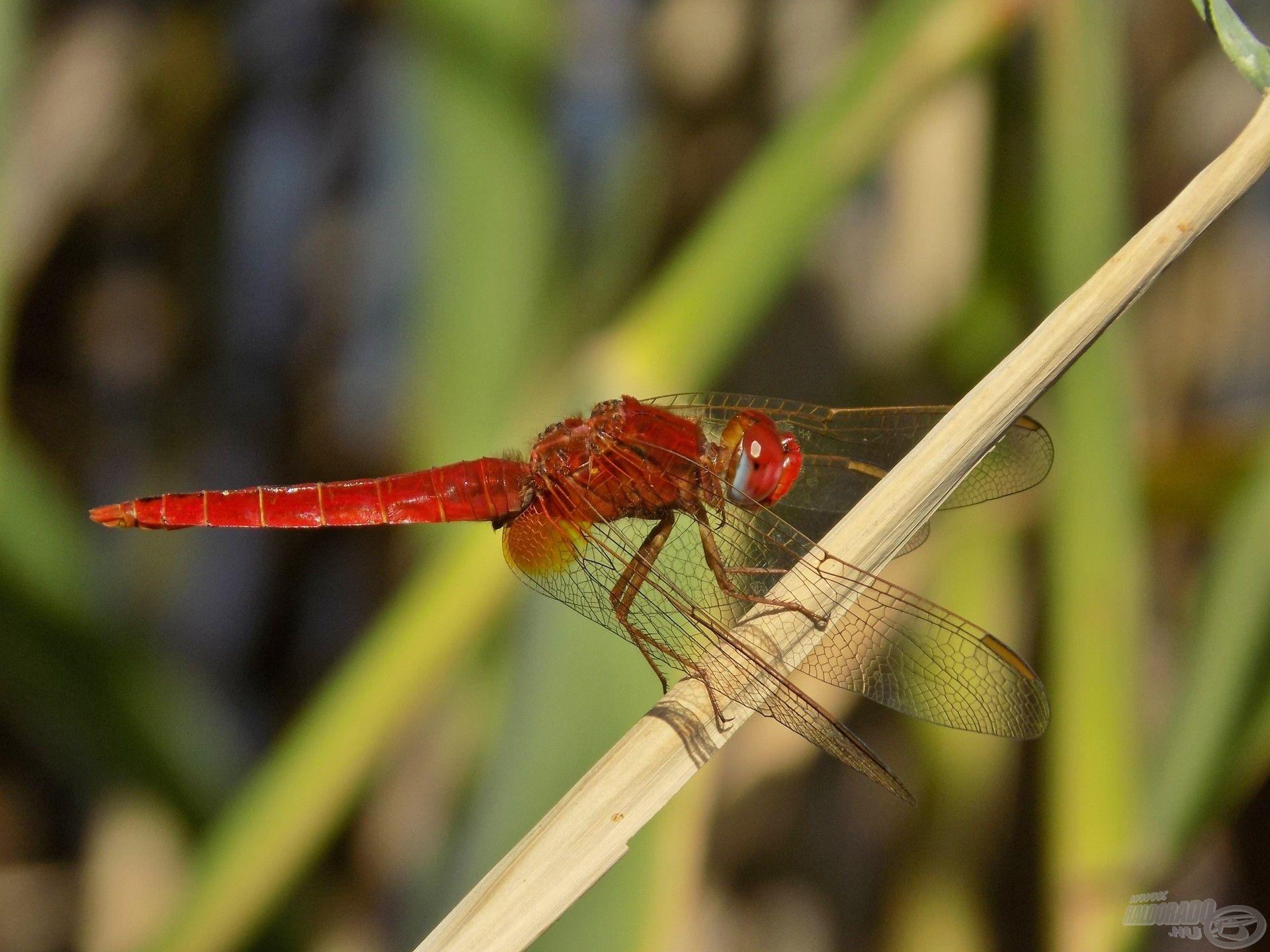 Ez a mutatós kis piros szitakötő a nádszálakon kapaszkodva pihente ki fáradalmait és figyelhette…