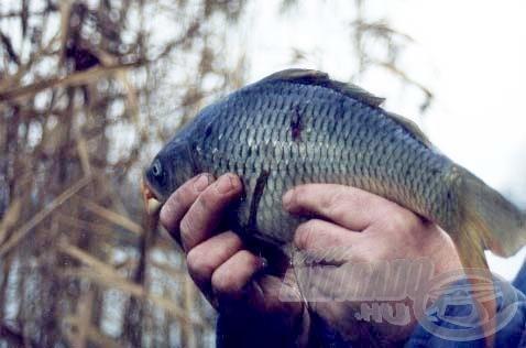 Az első kifogott hal ez a kilósforma tőponty volt. Sajnos a horgot rendkívül mélyre nyelte, de szerencsére nem szenvedett végzetes sérüléseket