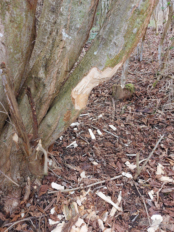 A tavalyi évtől nagyon sok fa törzse így néz ki a hódok miatt